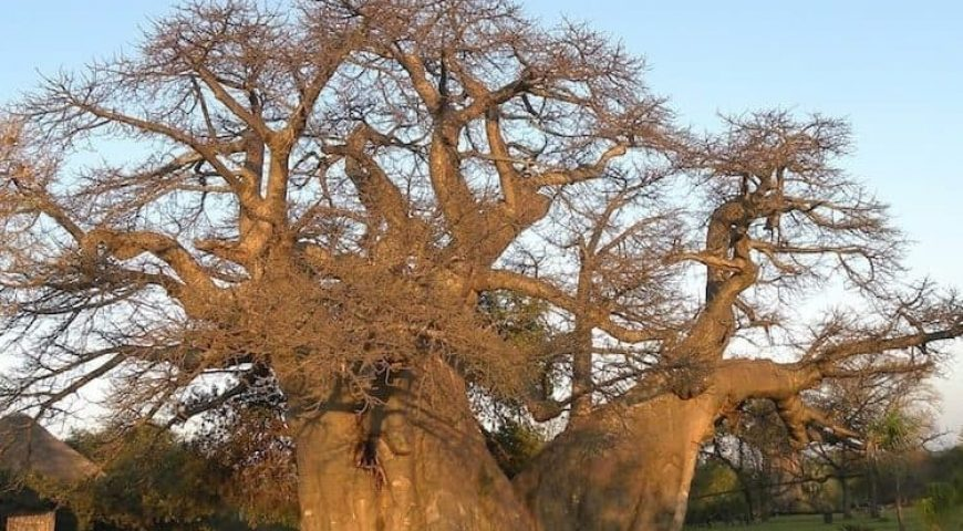 the-baobab-tree-4